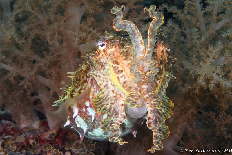 Cuttlefish in Soft Coral