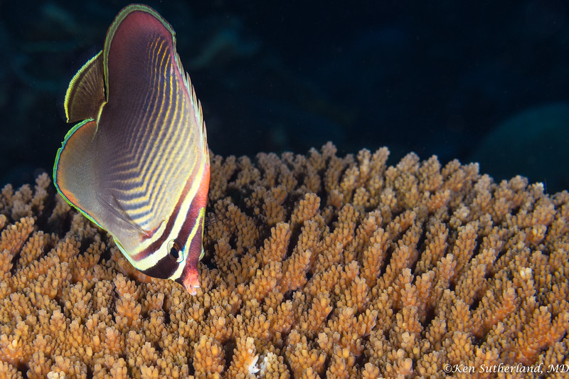 Triangular Butterfly fish