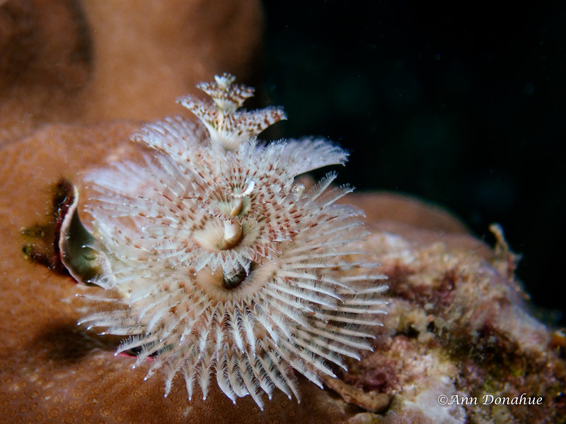 White Xams tree worm