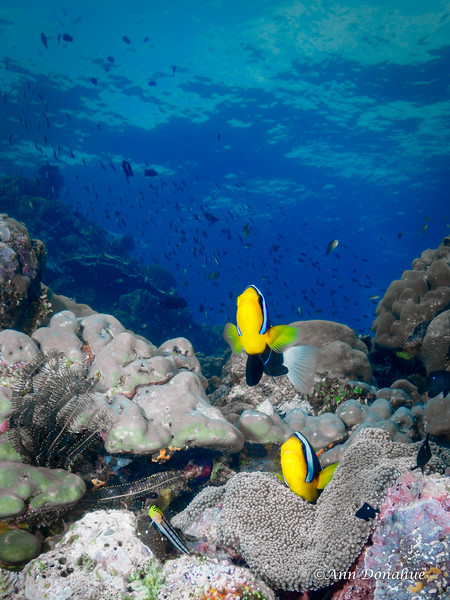 Anemone fish and Blennie