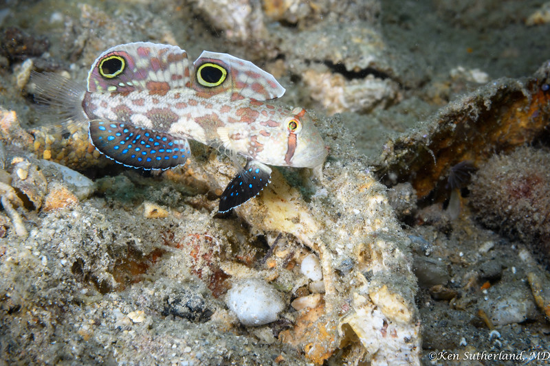 Twin Spot Goby