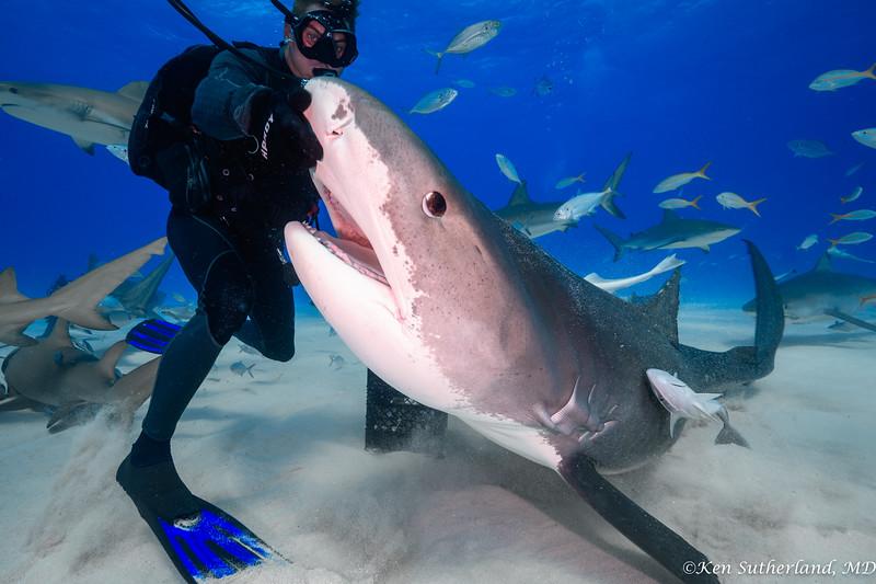 Shark wrangler  and Tiger