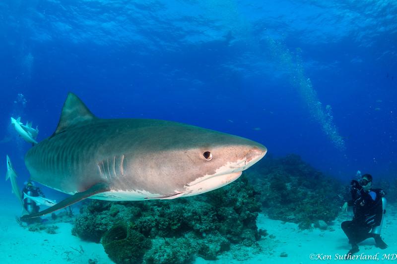 Tiger Shark and photographer