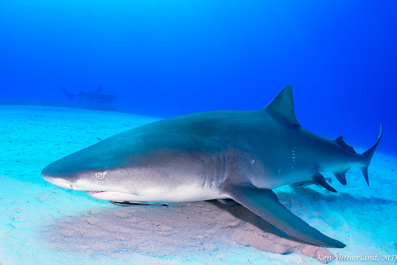 Lemon Shark  with Hammerhead in the distance