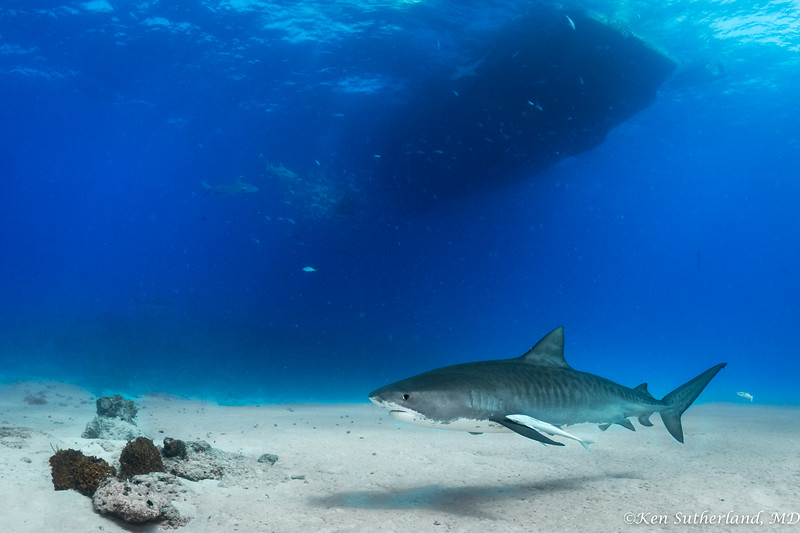 "Tiger shark under the boat ""Dolphin Dream"""