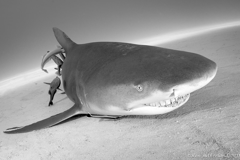 Lemon shark grin in B&W