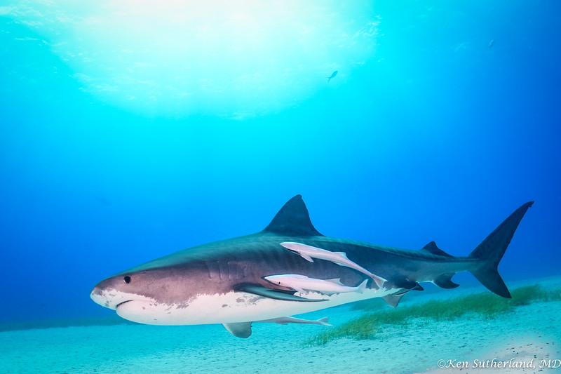 Tiger shark and remoras