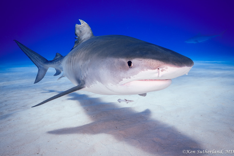 Beaten up Tiger shark
