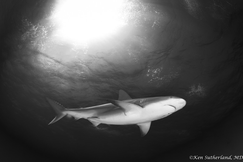 B&W Reef shark