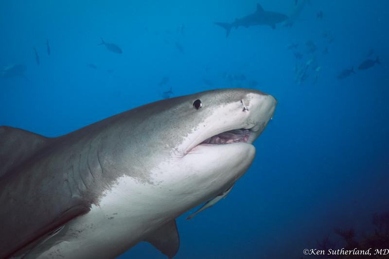 Tiger shark posing