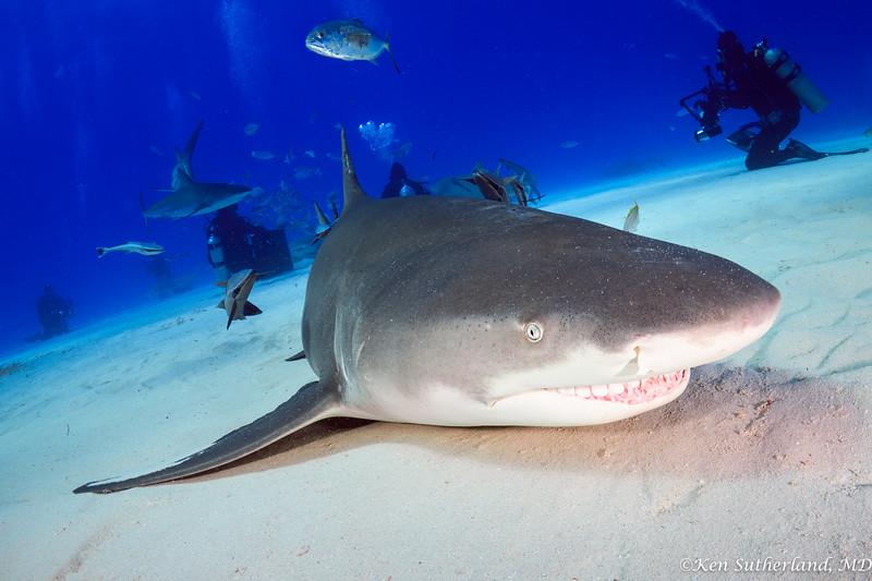 Lemon shark grinning