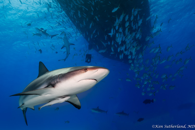 Reef sharks and schooling fish