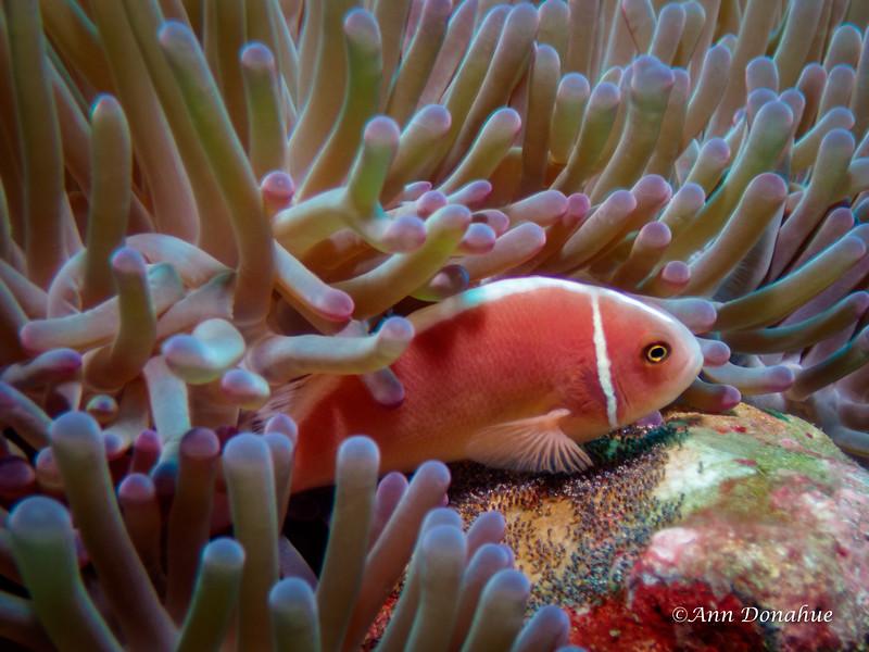 Pink Anemonefish finning eggs