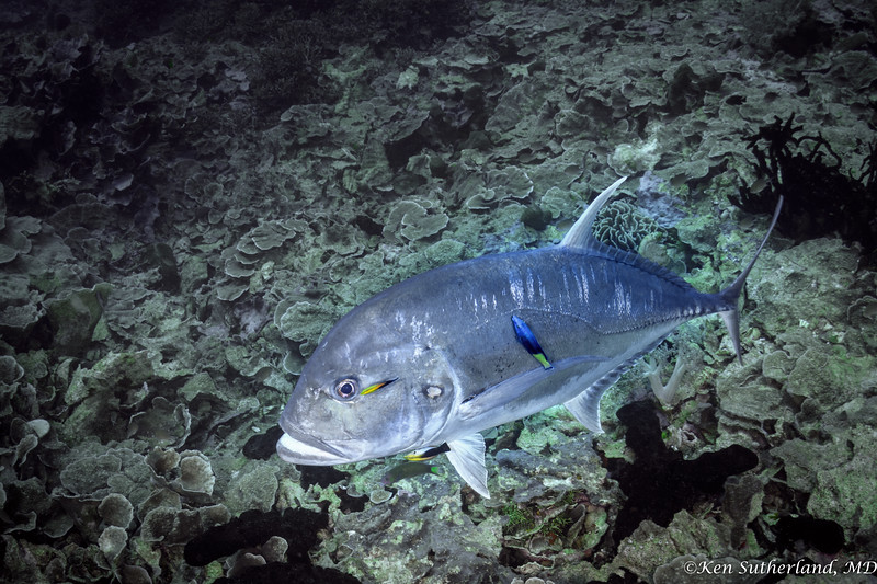 Trevally being cleaned