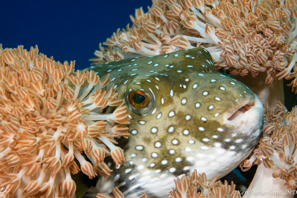 Puffer fish with Xenia coral
