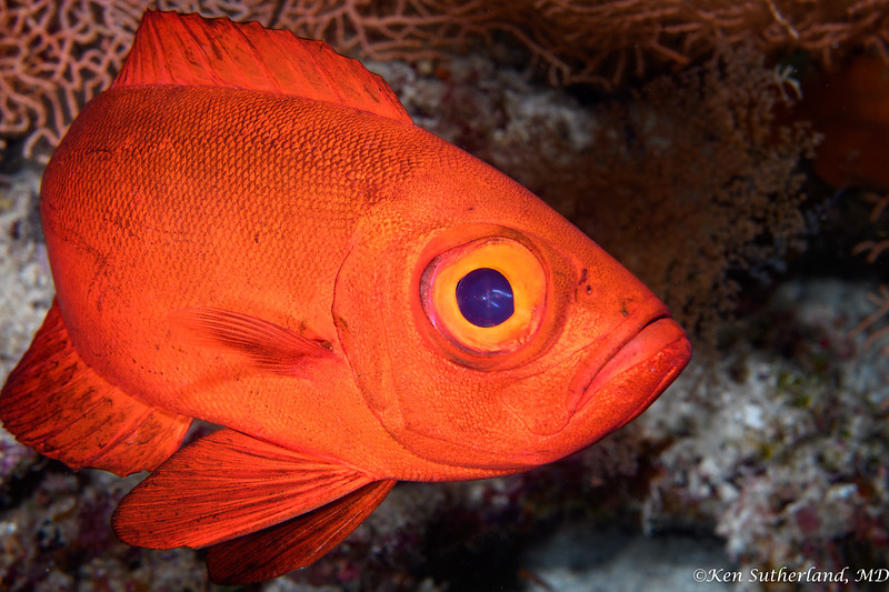 Crescent Tail Bigeye fish