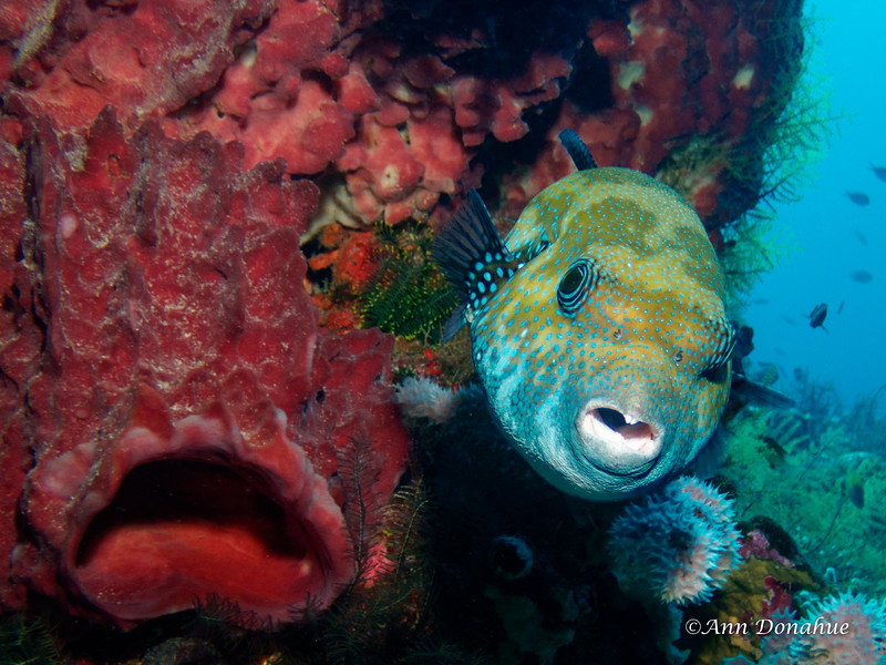 puffer and Sponge