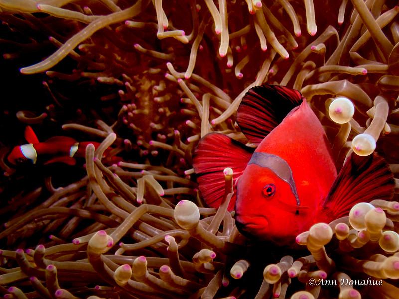 Spinecheek Anemone fish and friend