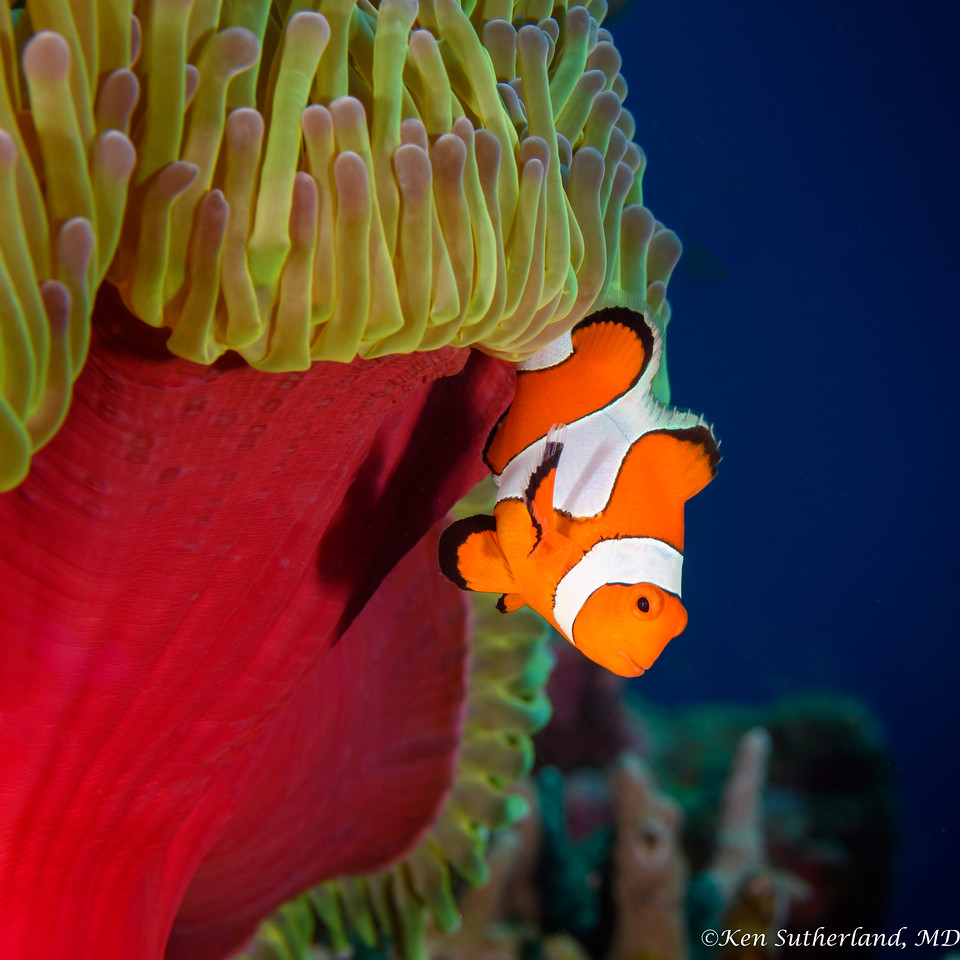 Clownfish escaping his host Anemone