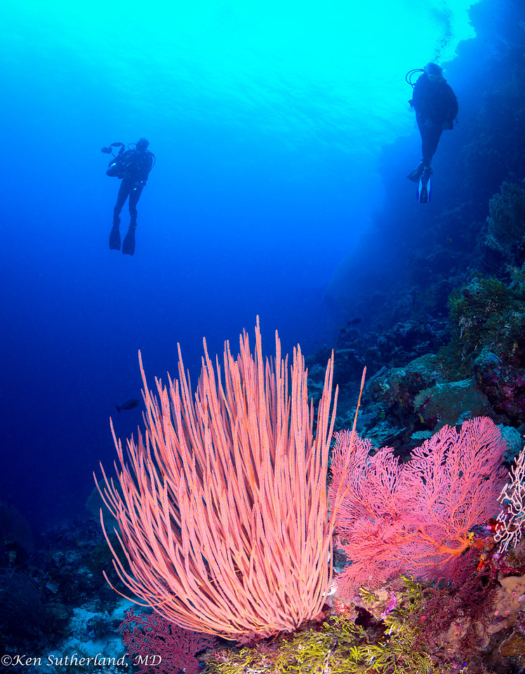 Red Whip Coral, Sea fan and divers
