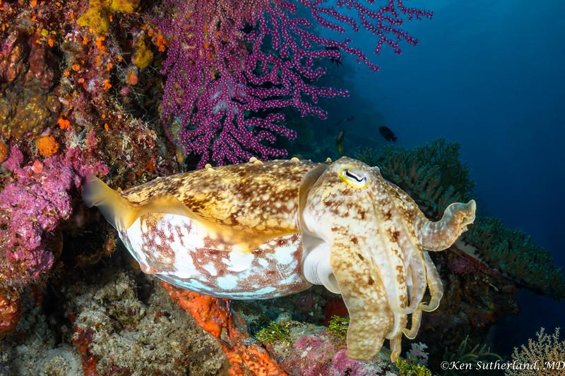 Reef Cuttlefish