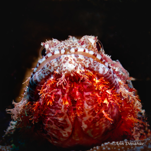 bearded Scorpionfish