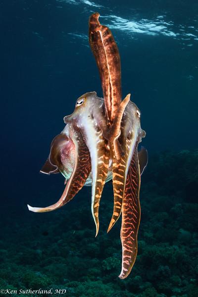 Cuttlefish Posturing