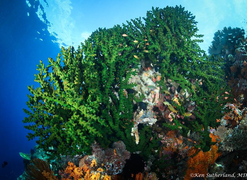 Tubastraea Micrantha coral