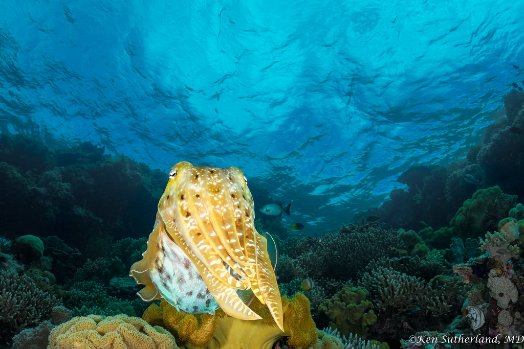 Reef Cuttlefish in shallows