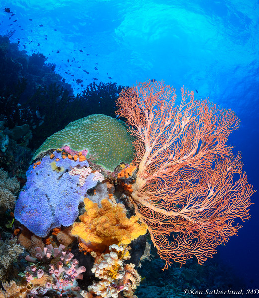 Seafan and corals
