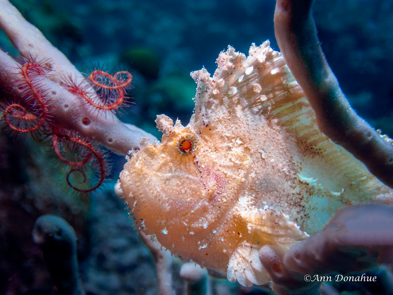 White Leaf fish and Brittle Star