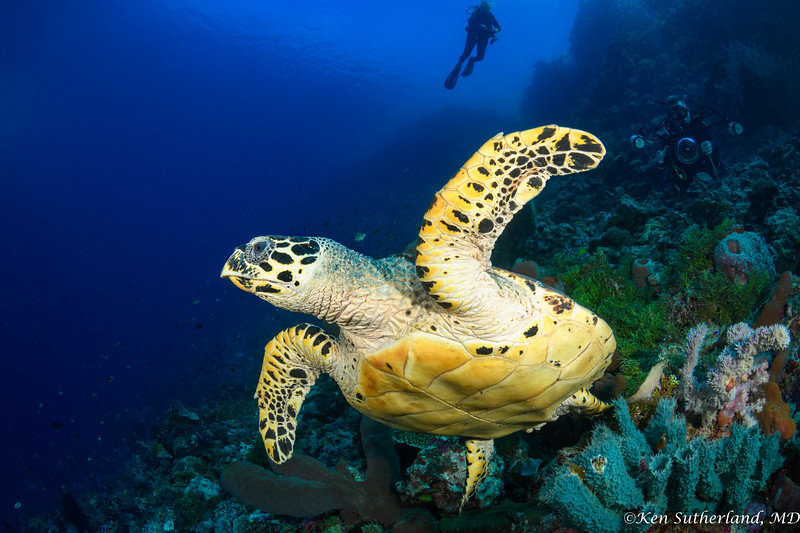 Hawksbill turtle escaping photographer