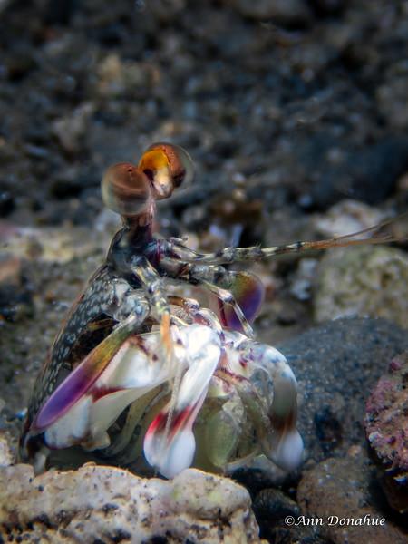Pink Eared Mantis Shrimp