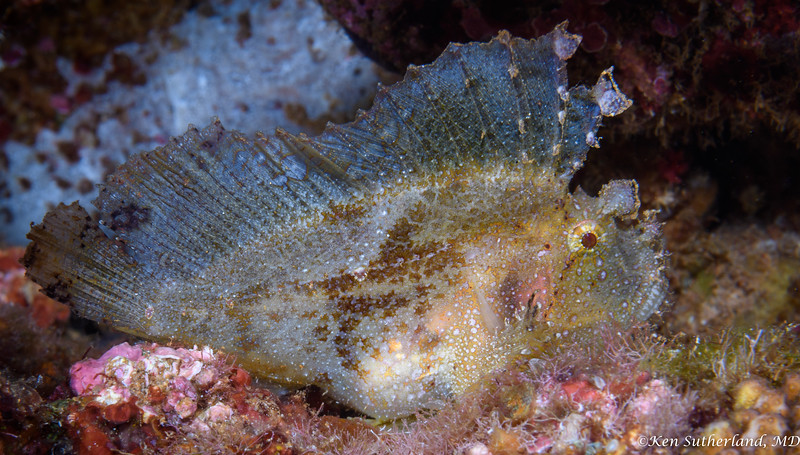 Scorpion Leaf fish