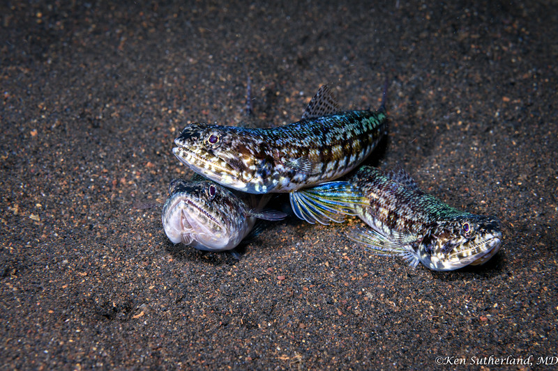 Trio of Lizard fish