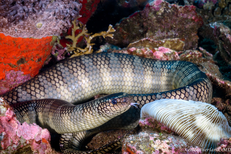 Chinese Sea Snake