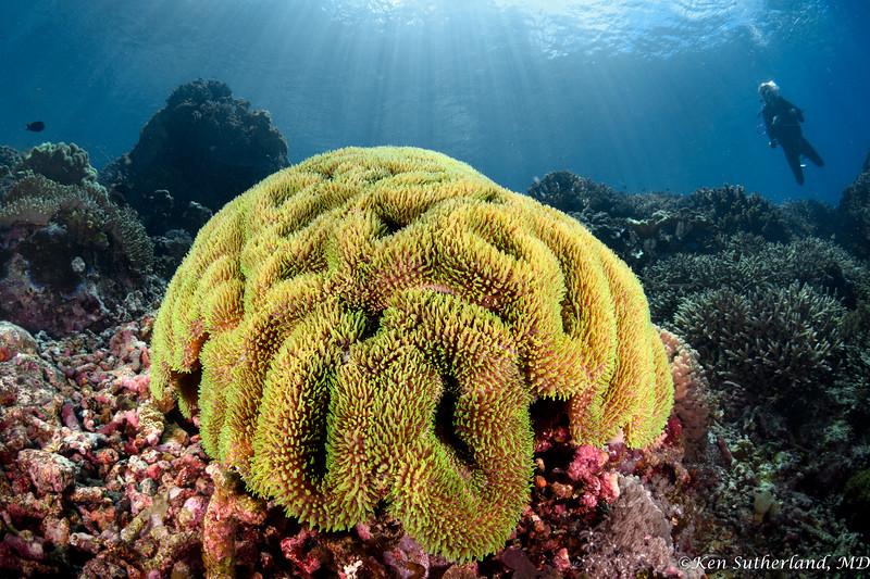 Symphillia Coral