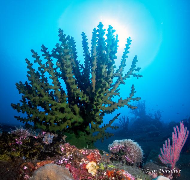 Tubastrea Coral Scene