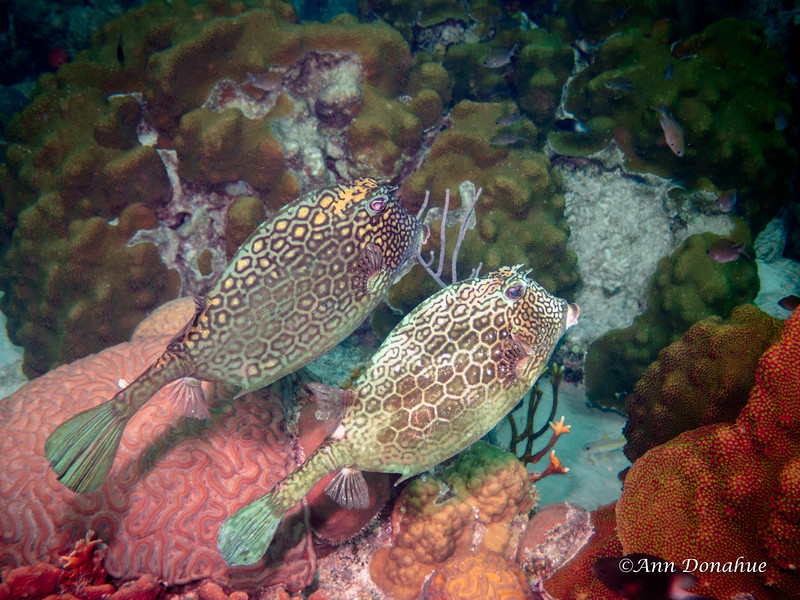 Double Cowfish