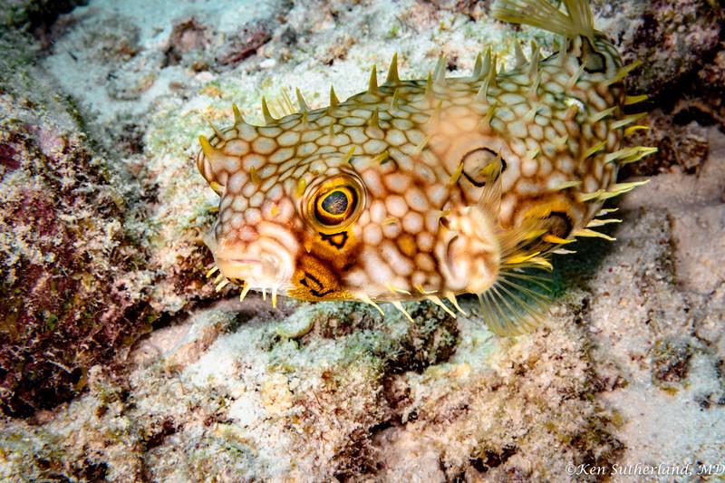 Yellow Burrfish
