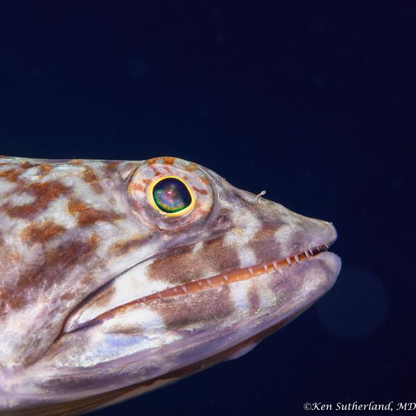 Lizard Fish