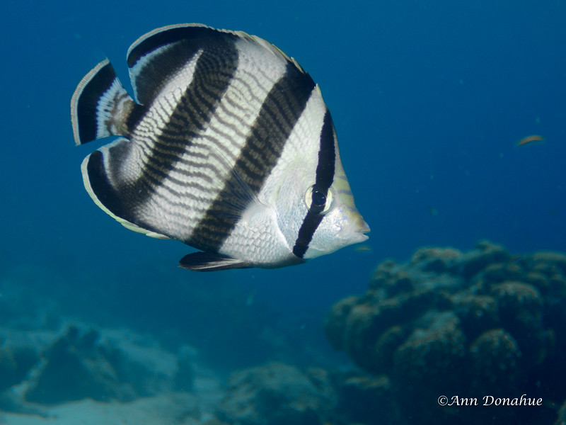 Banded Butterfly fish