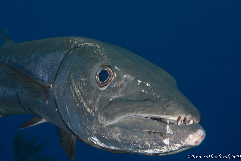 Barracuda head