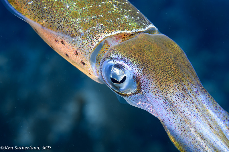 Close-up of a Reef Squid