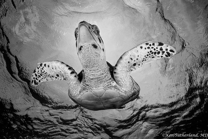 B&W Turtle Overhead