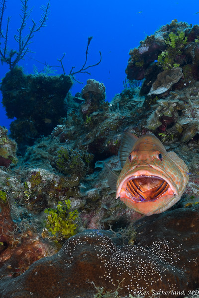 Grouper Cleaning Reef Scene