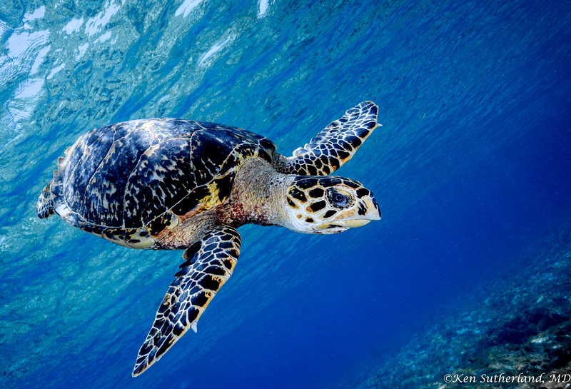 Hawksbill Turtle Flying By