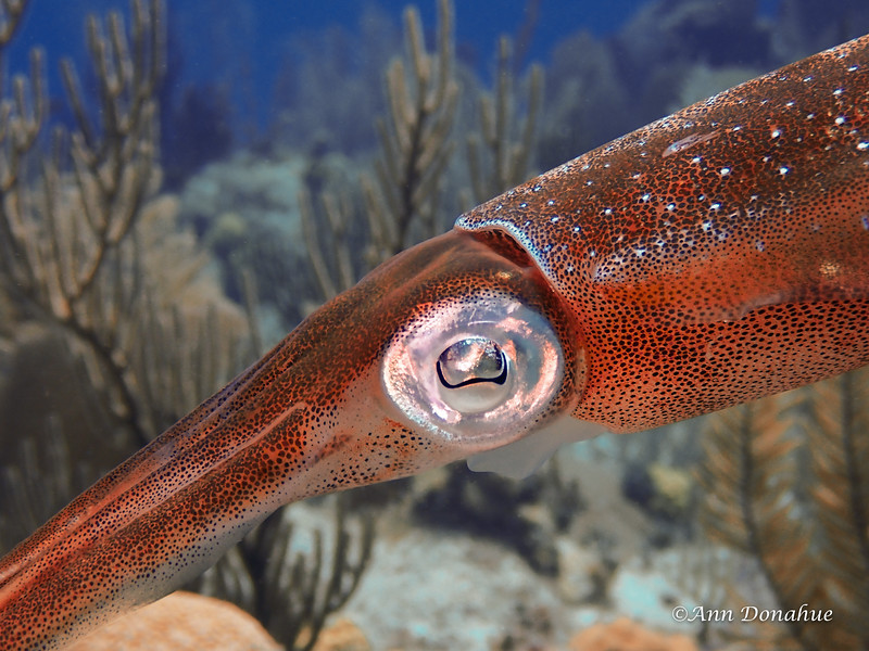 Reef Squid Sideview