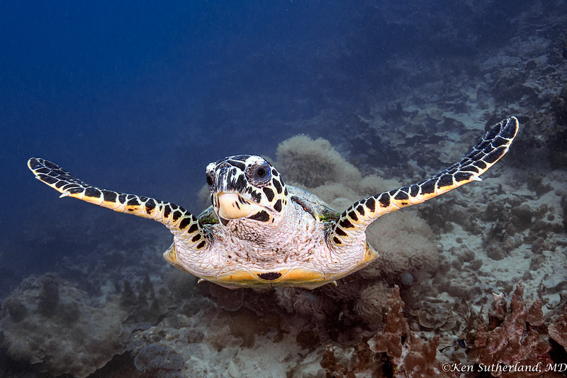Hawksbill Turtle at Slow and Easy dive site