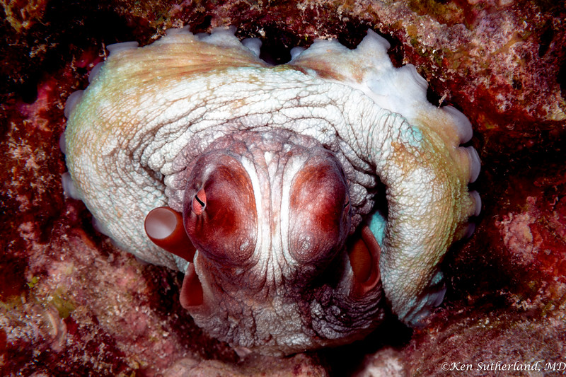Round Octopus